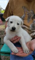 White Shepherd Puppies for sale in Louisville, KY, USA. price: NA