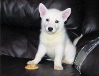 White Shepherd Puppies for sale in Anaheim, CA, USA. price: NA