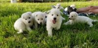 White Shepherd Puppies for sale in Kearney, MO 64060, USA. price: NA