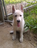 White Shepherd Puppies for sale in Brant, MI 48614, USA. price: NA