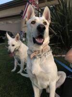 White Shepherd Puppies Photos