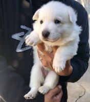 White Shepherd Puppies for sale in West Covina, CA, USA. price: NA