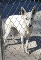 White Shepherd Puppies for sale in Conway, SC, USA. price: NA