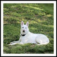 White Shepherd Puppies for sale in Upper Marlboro, MD 20772, USA. price: NA