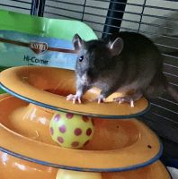 White-tailed Rat Rodents for sale in Portage, MI 49024, USA. price: NA