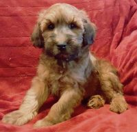 Whoodles Puppies Photos