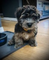 Whoodles Puppies for sale in 2906 Nevermind Ln, Colorado Springs, CO 80917, USA. price: NA