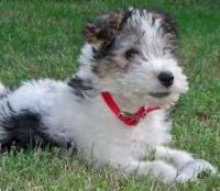Wire Fox Terrier Puppies for sale in Phoenix, AZ, USA. price: NA