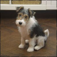 Wire Fox Terrier Puppies for sale in Alderson, WV 24910, USA. price: NA