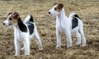 Wire Fox Terrier Puppies for sale in Beaver Creek, CO 81620, USA. price: NA