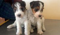 Wire Fox Terrier Puppies for sale in Battle Lake, MN 56515, USA. price: NA