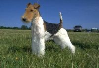 wire haired fox terrier dog