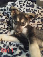 Wolfdog Puppies for sale in Lancaster, SC 29720, USA. price: NA