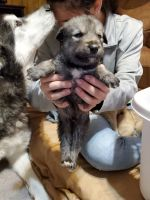 Wolfdog Puppies for sale in Fairland, OK 74343, USA. price: NA