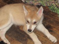Wolfdog Puppies for sale in Eugene, OR, USA. price: NA