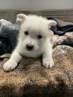 Wolfdog Puppies for sale in La Pine, OR 97739, USA. price: NA