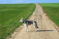 wolfdog dog