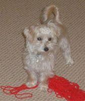 yochon dog