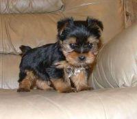 Yoranian Puppies Photos