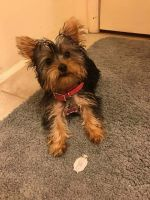 YorkiePoo Puppies for sale in Dockweiler, CA 90007, USA. price: NA