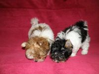 YorkiePoo Puppies for sale in Buffalo, NY, USA. price: NA