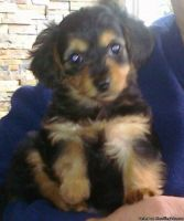 YorkiePoo Puppies for sale in Lawrenceville, GA 30044, USA. price: NA
