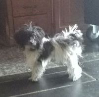 YorkiePoo Puppies for sale in Titusville, PA 16354, USA. price: NA