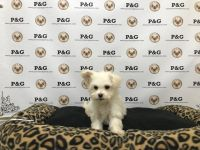 YorkiePoo Puppies for sale in Temple City, CA, USA. price: NA