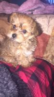 YorkiePoo Puppies for sale in Melrose Park, IL 60164, USA. price: NA