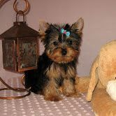 YorkiePoo Puppies for sale in Cary, NC, USA. price: NA