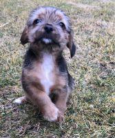 YorkiePoo Puppies for sale in Seattle, WA, USA. price: NA