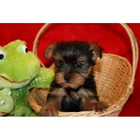 YorkiePoo Puppies for sale in Annapolis, MD, USA. price: NA