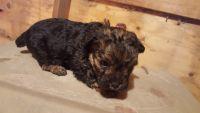 YorkiePoo Puppies for sale in Cynthiana, KY 41031, USA. price: NA
