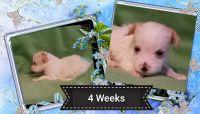 YorkiePoo Puppies for sale in Blaine, WA, USA. price: NA