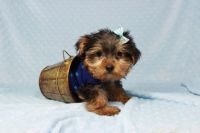 YorkiePoo Puppies for sale in Indianapolis, IN, USA. price: NA