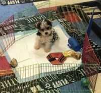 YorkiePoo Puppies for sale in Delmont, PA 15626, USA. price: NA