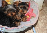 YorkiePoo Puppies for sale in Phoenix, AZ, USA. price: NA
