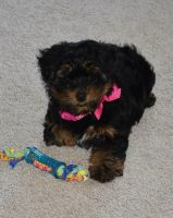 YorkiePoo Puppies for sale in Houghton Lake, MI 48629, USA. price: NA
