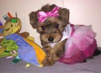 YorkiePoo Puppies for sale in Pensacola, FL 32505, USA. price: NA