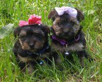 YorkiePoo Puppies for sale in Haynesville, LA 71038, USA. price: NA