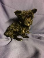 YorkiePoo Puppies for sale in New Orleans, LA, USA. price: NA