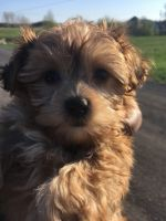 YorkiePoo Puppies for sale in Rochester, NY, USA. price: NA
