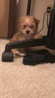 YorkiePoo Puppies for sale in Detroit, MI, USA. price: NA