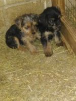YorkiePoo Puppies for sale in Spotsylvania Courthouse, VA, USA. price: NA