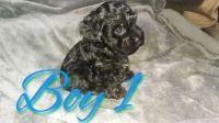 YorkiePoo Puppies for sale in Slater-Marietta, SC 29661, USA. price: NA