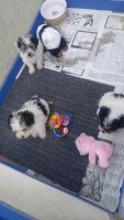 YorkiePoo Puppies for sale in Central Point, OR, USA. price: NA