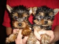 YorkiePoo Puppies for sale in N May Ave, Oklahoma City, OK, USA. price: NA
