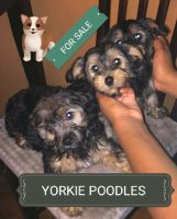 YorkiePoo Puppies for sale in Philadelphia, PA, USA. price: NA