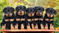 YorkiePoo Puppies for sale in Los Angeles, CA, USA. price: NA