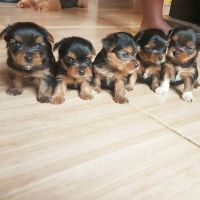 YorkiePoo Puppies for sale in San Francisco, CA, USA. price: NA